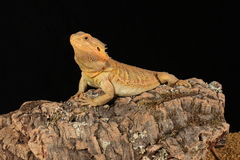 Bearded dragon - studio captured image Stock Image
