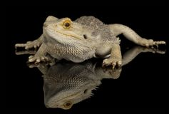 Beared dragon - isolated on black Royalty Free Stock Image