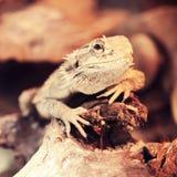 Bearded dragon in terrarium Royalty Free Stock Photography