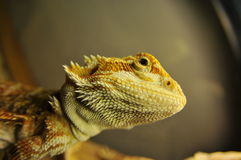 Bearded Dragon Up Close Royalty Free Stock Photo