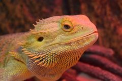 A bearded dragon, up close and personal stock image