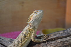 Bearded Dragon Stock Photo
