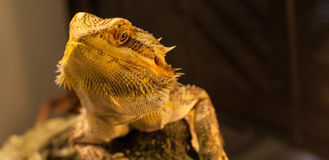 Bearded Dragon warms himself. Royalty Free Stock Images