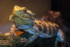 Bearded Dragon warms himself. Stock Images