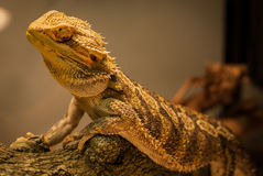 Bearded Dragon warms himself. Stock Photos