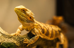 Bearded Dragon warms himself. Stock Photo