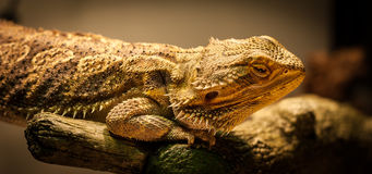 Bearded Dragon warms himself. Royalty Free Stock Image