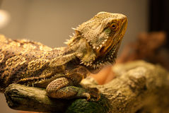 Bearded Dragon warms himself. Royalty Free Stock Photography