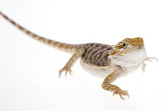 Bearded dragon on white Royalty Free Stock Photography