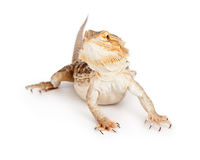 Bearded Dragon on White Stock Photos