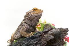 Bearded Dragon on White Royalty Free Stock Image