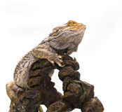 Bearded Dragon on White. Adult male Bearded Dragon on white background sitting on ornamental furniture stock image