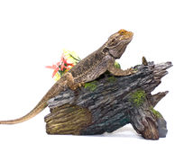 Bearded Dragon on White Stock Images