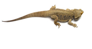 Bearded Dragon on White Stock Photography