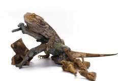 Bearded Dragon on White Stock Photo