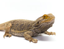 Bearded Dragon on White Royalty Free Stock Photo
