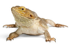 Bearded Dragon on white Royalty Free Stock Images