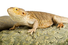Bearded Dragon on white Royalty Free Stock Photo