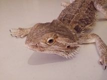 Bearded dragon. On a white board Royalty Free Stock Images