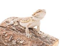 Bearded Dragon On Wood Royalty Free Stock Photo