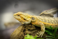 Bearded dragon on wood. Stock Photos