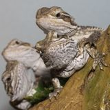 Bearded Dragons Stock Image