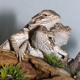Bearded Dragons Stock Images
