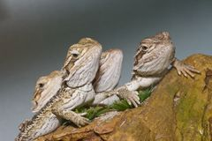 Bearded Dragons Royalty Free Stock Photo