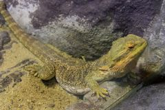 Bearded Dragons Royalty Free Stock Image
