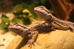 Bearded dragons. Two beautiful bearded dragons loving having there photos taken Royalty Free Stock Images