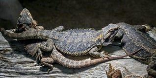 Bearded dragons 1. Bearded dragons on the beam. Latin name - Amphibolurus vitticeps Royalty Free Stock Photo