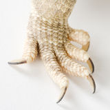 Bearded Dragons claw Stock Photo