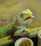 Bearded dragons. Close up head bearded dragons lizard in thailand Stock Photo