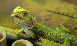 Bearded dragons. Close up head bearded dragons lizard in thailand Stock Photography
