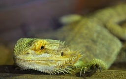 Bearded dragons. Close up head bearded dragons lizard in thailand Stock Images