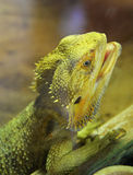Bearded dragons. Close up head bearded dragons lizard in thailand Royalty Free Stock Images