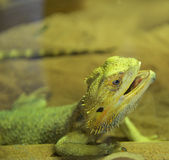 Bearded dragons Stock Photos