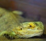 Bearded dragons. Close up head bearded dragons lizard in thailand Stock Photos