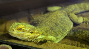 Bearded dragons. Close up head bearded dragons lizard in thailand Royalty Free Stock Image