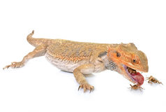 Bearded dragons eating cricket. In front of white background Royalty Free Stock Images