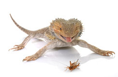 Bearded dragons eating cricket. In front of white background Stock Image