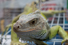 Bearded dragons in front. In thai Stock Photography