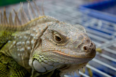 Bearded dragons in front. In thai Royalty Free Stock Image