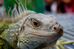 Bearded dragons in front. In thai Royalty Free Stock Images