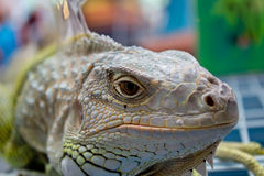 Bearded dragons in front stock images