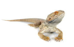 Bearded dragons. In front of white background Royalty Free Stock Photography