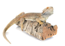 Bearded dragons. In front of white background Royalty Free Stock Images