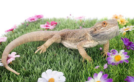 Bearded dragons. In front of white background Royalty Free Stock Photos