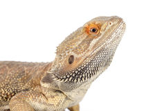 Bearded dragons. In front of white background Stock Image