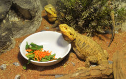 Bearded dragons Royalty Free Stock Photos